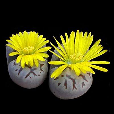 Lithops (Lebenden Steine) Kollektion - 10 Pflanzen von CactusPlaza.com - Du und dein Garten