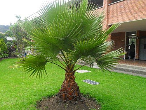 Washingtonia robusta Zimmerpalme Büropalme 140-160 cm. Eine der schnellwachsendsten Palmen der Welt
