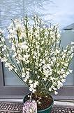 Ginster cremeweiß Cytisus praecox Albus 40 - 60 cm hoch im 3 Liter Pflanzcontainer