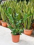 Glücksfeder, Zamioculcas zamiifolia, ca. 80 cm, pflegeleichte, 27 cm Topf