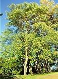 Götterbaum - Ailanthus altissima - Samen