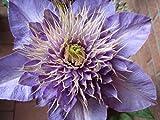 Waldrebe - Clematis Hybride - Multi Blue - gefüllte üppig blühend - 40-60 cm