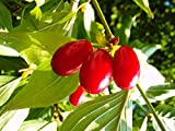 Kornelkirsche Busch-Baum Jolico süß 80-100 cm rotes Obst Wildobst 1 Pflanze