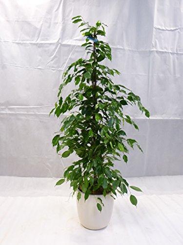 "[Palmenlager] - Ficus benjamini\""Exotica\"" 160 cm/Zimmerpflanze"