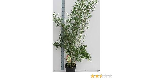 Hoher Heckenbambus Fargesia robusta Campbell Topf C10-10 Liter Zebra Bambus