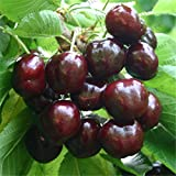 HONIC 20pcs Bonsai Nano Ciliegio gaint Asilola Cherry Le Piante da frutto in Vaso perenni Cerasus pseudocerasus Frutta pianta Giardino di casa