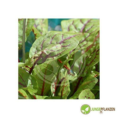 Kräutersamen - Sauerampfer - Rumex acetosa - Polygonaceae 100 Samen