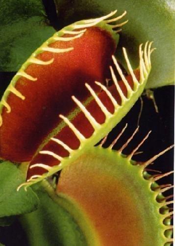 tropica-venere-acchiappamosche-dionaea-muscipula-10-semi-incluso-substrato-di-coltivazione