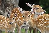 lunaprint Chital Deer Family Portrait Sri Lanka Wild Animal