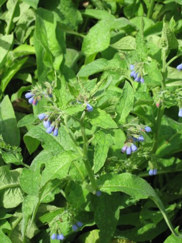 premier-seeds-direct-hrb38-herb-comfrey-symphytum-officinale-seeds-pack-of-36