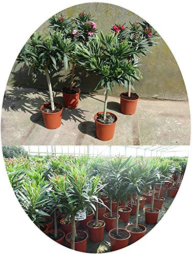 Oleander Hülsenfrüchte
