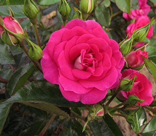perfect-match-4lt-potted-floribunda-garden-rose-bush-exclusive-listing-strong-purple-pink-blooms-wit
