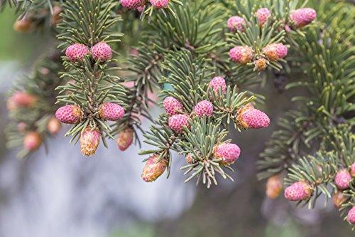 Serbische Fichte Picea omorika 150 Samen