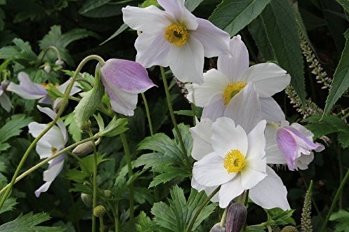Anemone WILD SWAN 'Macane001': garden tested, hardy perennial plant supplied in a half litre pot
