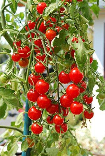 Tradico Super Agri Green Cherry Tomaten Sweetie 50 Samen X 2 Kitchen Garden Pack (Agro-tomaten-samen)