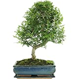 Pfefferbaum, Bonsai, 12 Jahre, 50cm