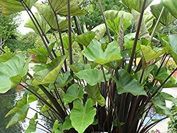 Pinkdose 1 Large Elephant Ear Black Stem -Colocasia esculenta- Add a Tropical Look