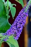 Schmetterlingsstrauch Buddleja Empire Blue 40 - 60 cm im 3 Liter Pflanzcontaier