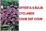 OFFERTA 6 BULBI AUTUNNALI CICLAMINO CYCLAMEN COUM SSP COUM BULBS BULBES