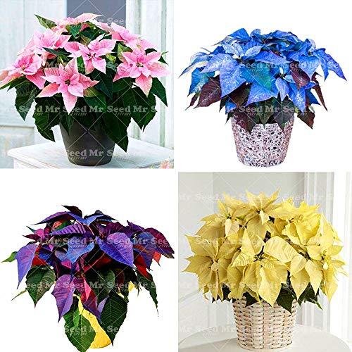 green seeds co. 100 pezzi bonsai pianta stella di natale, euphorbia pulcherrima, piante da fiore piante rare, balcone in vaso piante: misto