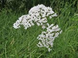Asklepios-seeds - 500 Samen Valeriana officinalis, Echter Baldrian