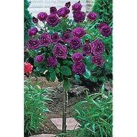 Green Seeds Co. 100 unids/Bolsa Planta de Ãrbol de Rosa Naranja Planta de Flor fragante para el Jardãn de su casa plantación de áRboles de los Bonsai para el Jardãn de su casa: 9