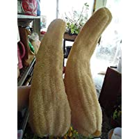 PLAT FIRM Germination Seeds PLATFIRM-10 Luffa Cylindrica Gourd Seeds! Make Your Own Sponges and Hand Made Soap! Easy!