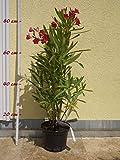 Oleander 'Rosa Bartolini' - Nerium oleander, Größe:C03