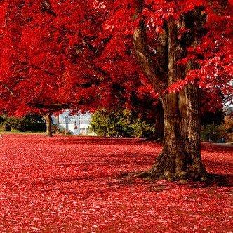 50Partikel Beautiful Japanisch Rot Ahorn Samen, Baum Samen -