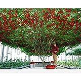 ASTONISH Erstaunen SEEDS: 50 italienische Baumtomate Rare Erbstück !! Samen des Lebens Tomato Tree Free Shipping