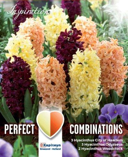 Lovely Combinations Hyazinthen Oriental Blend 8 Stück