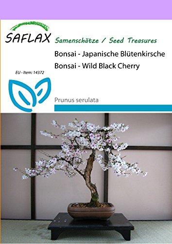 SAFLAX - Bonsai - Japanische Blütenkirsche - 30 Samen - Freilandbonsai - Prunus serulata