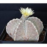 Astrophytum myriostigma jaumavense seeds