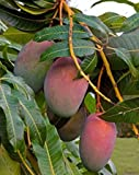 #9: Live Mango/Aam Sundari Grafted Fruit Plant
