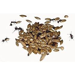 50g Mélange d'aliments Granivores reines fourmis et fourmis colonie (Messor barbarus)