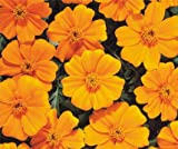 Bobby-Seeds Tagetes Samen DISCO Orange, Studentenblume Portion