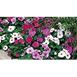 [Sponsored]Flower Seed By Airex Vinca (Summer) Flower Seed (10 Packet Of Vinca) Pack Of AVG 50 - 100 Seed * 10 Per Packet Seed
