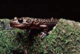 The Poster Corp Larry Minden - Pacific Giant Salamander on