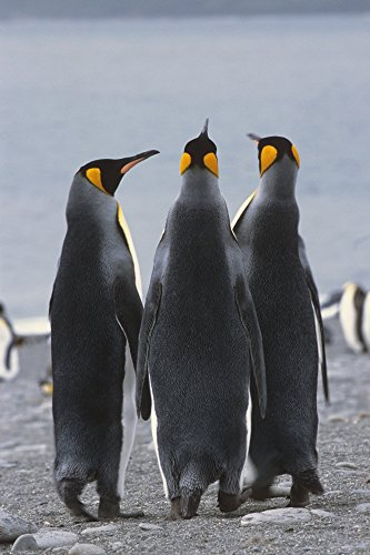 tom-soucek-design-pics-group-of-king-penguins-standing-together-south-georgia-island-antarctic-photo