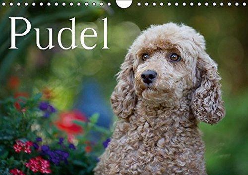 Pudel (Wandkalender 2017 DIN A4 quer): Ein bunter Pudel-Kalender für das ganze Jahr (Monatskalender, 14 Seiten) (CALVENDO Tiere)