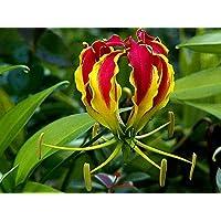 Asklepios-seeds® - 50 Semillas de Gloriosa superba bandera española