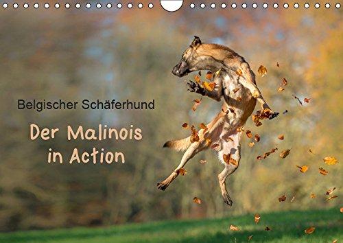 Belgischer Schäferhund - Der Malinois in Action (Wandkalender 2019 DIN A4 quer): Der Kalender für Malinois-Freunde (Monatskalender, 14 Seiten ) (CALVENDO Tiere)
