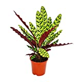 Shadowplant with unusual leafpatterns - Calathea lancifolia - 14cm pot - 45-50cm tall