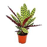 Schattenpflanze mit ausgefallenem Blattmuster - Calathea lancifolia - 14cm Topf - ca. 50cm hoch