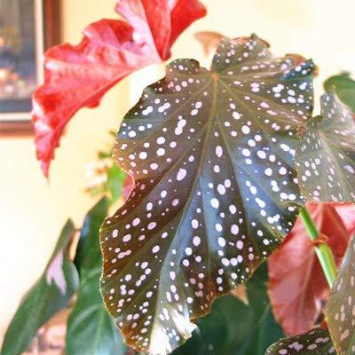 Bloom Green Co. 100Pcs / Tasche Begonia Bonsai-Blumen-Anlage Garten Terrasse im Freien Farbe Blatt Begonia Planta Topffamiliengarten Stauden Bepflanzung: 8