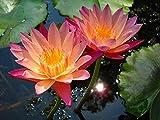 #9: Floral Treasure Orange Lotus Flower Seeds - Pack of 10