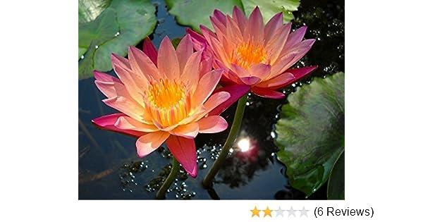 Floral Treasure Orange Lotus Flower Seeds Pack Of 10 Amazonin