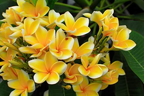 "Plumeria 4 Samen""Yellow"" Frangipani Samen"