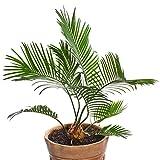 Semi di palma da datteri delle Canarie - Phoenix canariensis - 5 semi - 5 semi