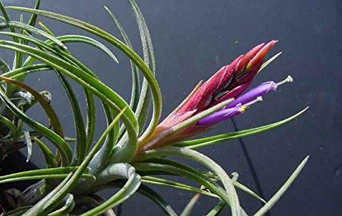 tillandsia-baileyi-live-airplant-for-house-vivarium-decoration-plant